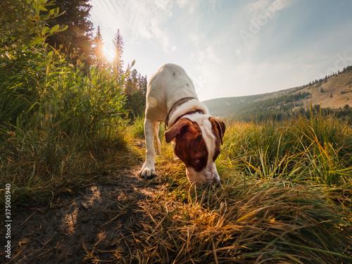 Dog sniffs around the grass near Lost Lake in Colorado Canvas Print