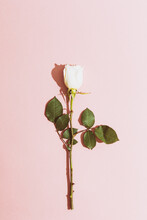 Valentine: White Rose On Pink Background With Heavy Shadow