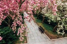 Walkway Under Crabapple Blossoms In Spring