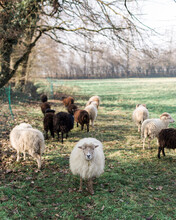 Breton Dwarf Sheep Stands In The Grass And Looks Straight At The Camera