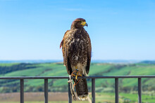 A Captive Golden Eagle On A Railing