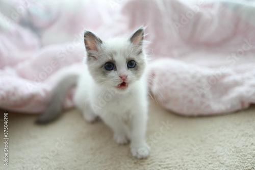 Fotografie, Obraz 푸른눈을 가진 귀여운 랙돌 새끼 고양이