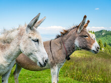 Two Cute Donkeys In The Piatra...
