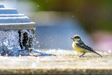 Tit Bird, Close-up, Bathed In Water.