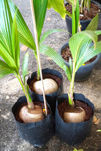 Three Coconut Trees Began To G...