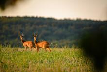 Two Roe Bucks On The Field