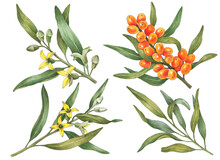 Watercolor Sea Buckthorn Set, Hand Painted Illustration With Flowers And Berries Isolated On A White Background.