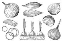 Onion Sketch. Hand Drawn Veget...