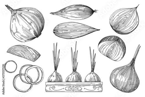 Onion sketch Fototapeta