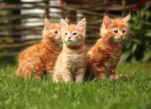 Three Beautiful Ginger Maine C...