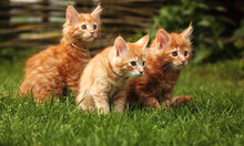 Three Beautiful Ginger Maine Coon Kittens Sitting On Green Grass Background On Summer Sunny Weather. Fun Beautiful