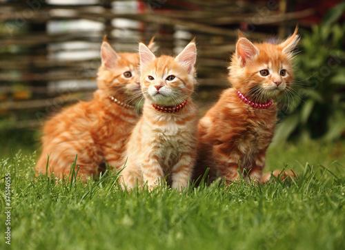 Fotografija Three beautiful ginger maine coon kittens sitting on green grass background on summer sunny weather
