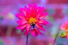 Close Up Macro Of Bumble Bee P...