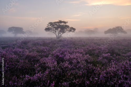 Obraz Blooming Heather fields, purple pink heather in bloom, blooming heater on the Veluwe Zuiderheide park , Netherlands. Holland - fototapety do salonu