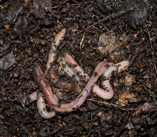 Several Large Earthworms On Moist, Greasy Soil.