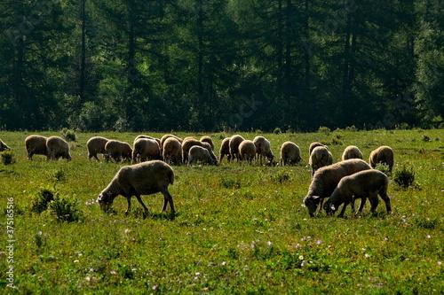 Fotografija The high pastures of the Altai mountains, Russia