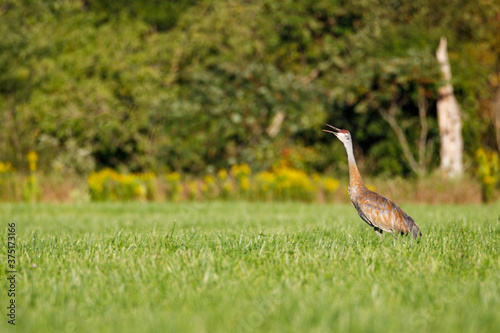 Tela Mature Sandhill Crane (Grus Canadensis) at distance in a hayfield during late su
