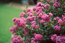 Hot Pink Crape Myrtles In Full Bloom