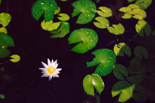 Yellow And White Water Lily Fl...