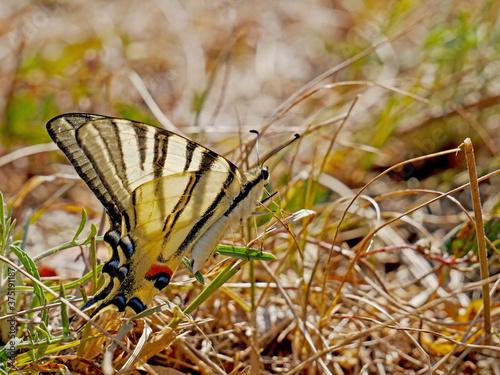 Una farfalla in un prato fiorito nel periodo estivo Canvas Print