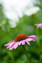 Pink And Orange Cone Flower