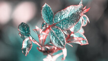 Rose Bush Leaves Covered With Hoarfrost On Blurred Background