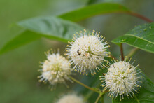 Insect Collecting Pollen From Buttonbush Flower Clusters
