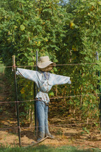 Scarecrow In Front Of Green Beans In A Vegetable Garden