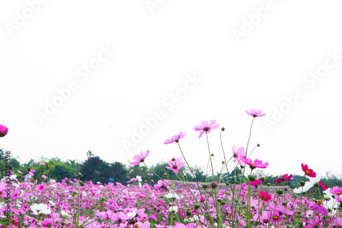 Fototapety, obrazy: Pink Cosmos flowers blooming in the garden.