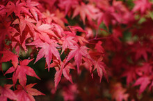 Japanese Maple Leaves Changing In Autumn