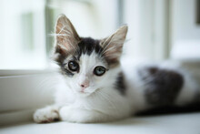 Kitten With Different Colored Eyes Looks At The Camera While Laying On White Windowsill