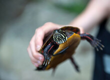 Child Holds A Painted Turtle