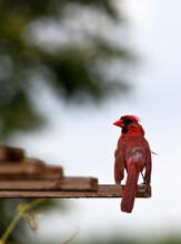 Male Cardinal Bird Closeup