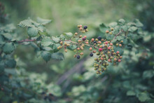 Detail Of Berries From Nature.