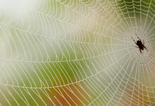 Spider In A Dewy Immaculate Web - Orange And Green Background