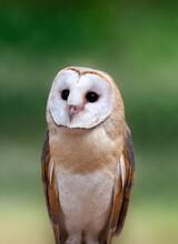 Barn Owl Closeup Portrait