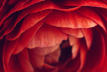Macro Of Red Ranunculus Flower...