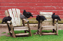 Chickens Roosting On Adirondack Chairs
