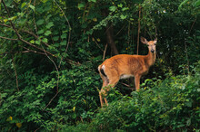 White-tailed Deer Doe In The W...