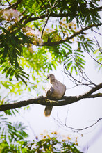 Dove On Persian Silk Tree (Albizia Julibrissin) Branch