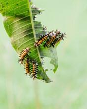 Milkweed Tussock Caterpillars Eating A Milkweed Leaf