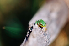 Small Green Frog On A Log.