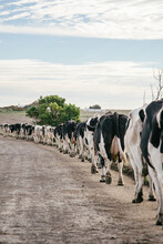 Dairy Herd Being Walked Up To ...
