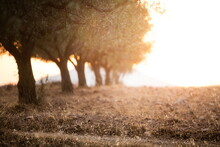Olive Trees In The Sunset Light