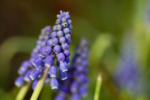 Macro Of Grape Hyacinth Flowers