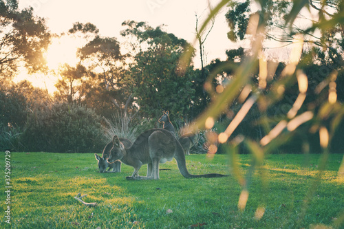Fotomural wild kangaroos in the park