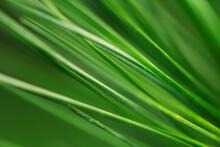 Abstract Pine Needles