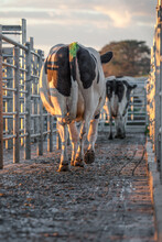Dairy Cows Walking Out After B...