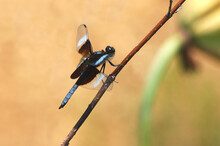 Widow Skimmer Dragonfly On A Twig