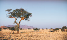 Namib Desert Tree With A Sociable Weaver Nest